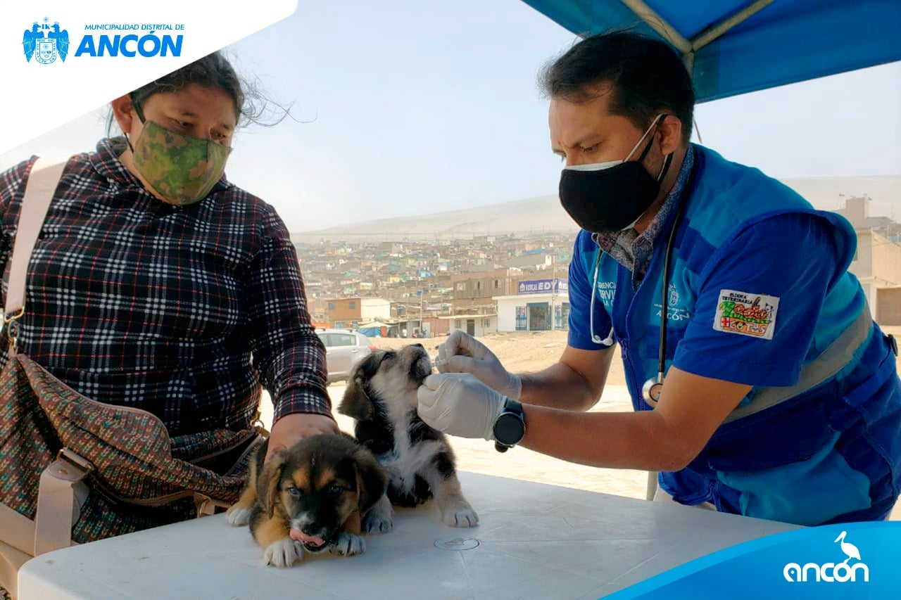 CAMPAÑA VETERINARIA MUNICIPAL DESCENTRALIZADA ATENDIÓ A MÁS DE 65 ANIMALITOS EN LOMAS DE ANCÓN